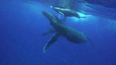 humpback whales, mother, baby and male escort dance