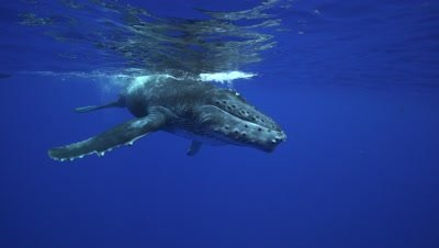 humpback whales, mother and baby close