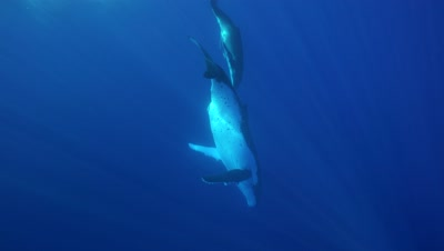 humpback whales, mother and baby dive down from the surface into the blue