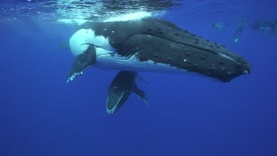 humpback whales, mother and baby rest at the surface, close shot