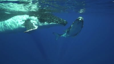 humpback whales, mother and calf at the surface, pass just below camera