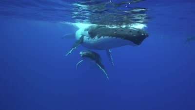 humpback whales, mother and calf rest at the surface