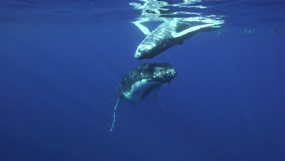 humpback whales, mother and playful calf at the surface