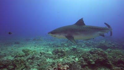 tiger shark approaches while other sharks and tropical fish show up