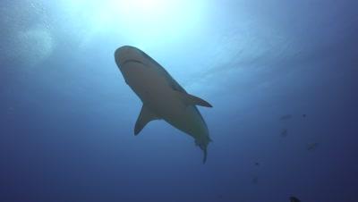 tiger shark swims above the camera into the sun, backlight shot