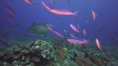 tiger shark appears behind a curtain of reef fish on a coral reef in tahiti