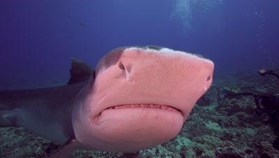 tiger shark searching the reef for food and gets close, touching camera
