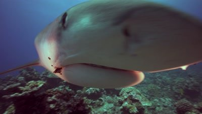 tiger shark approaches fast and touches camera, close up