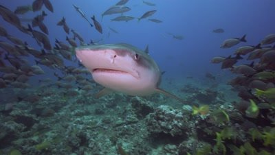 tiger shark approaches fast oin a coral reef , touching camera, close up