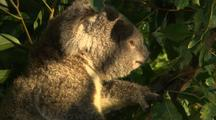 Active Juvenile Koala Feeding on Eucalyptus Gum Tree Leaves