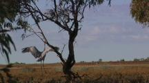 Brolga Crane Dances With Mate