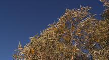 Wattle Tree In Flower Dryland Interior