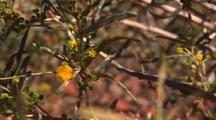 Wattle Tree Flower In Morning Light In Red Sand Hill Country