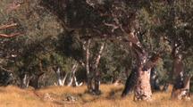 Red River Gum Eucalyptus Tree in Seasonal Dry Todd River Bed