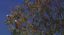 Galah Cockatoo on branch swaying in wind