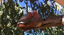 Galah Cockatoo Grooming Perched On River Red Gum Branch