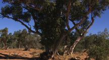 Red River Gum Eucalyptus Tree in Seasonal Dry Todd River Bed