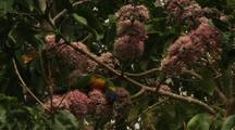 Rainbow Lorikeet Feeding On Pink Euodia Flower Nectar