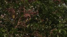 Rainbow Lorikeet Feeding On Pink Euodia Flower Nectar