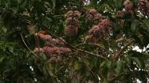 Rainbow Lorikeet Parrot Feeding On Pink Euodia Flower Nectar