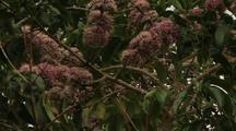 Pink Euodia Flower Tree