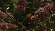 Rainbow Lorikeet Parrots Feeding On Pink Euodia Flower Nectar