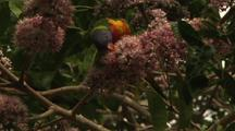 Rainbow Lorikeet Parrots Feeding On Pink Euodia Flower Nectar
