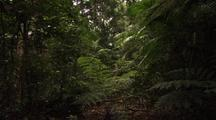 Dense Primary Subtropical Rainforest