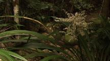 Endemic Flax Stream Lily Flowering In Rainforest Water Gully