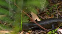 Land Mullett Skink On Forest Floor