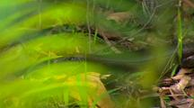 Land Mullett Skink On Forest Floor