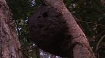 Termite Nest In Tree Branch