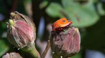 Cotton Hibiscus Harlequin Bugs Jostling On Flower Bud