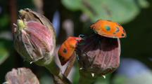 Cotton Hibiscus Harlequin Bugs Compete On Flower Bud
