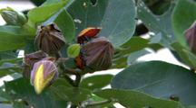 Cotton Hibiscus Harlequin Bugs On Flower Bud