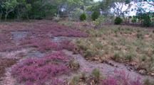 Low Growing, Salt Tolerant Pigface Type Plant Technically Mangrove