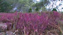 Low Growing, Salt Tolerant Pigface Type Plant Technically Mangrove