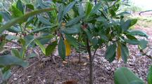 Large-Leafed Orange Mangrove Plants