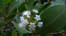 River Mangrove Flowers
