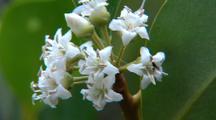 River Mangrove Flowers Close-Up