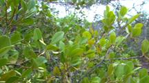 River Mangrove Plants With Immature Seeds
