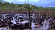 Red Mangrove Seedling Propagule Takes Root In Mud