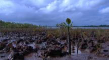 Floating Red Mangrove Seedling Propagule Takes Root In Mud