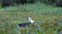 Royal Spoonbill Feeds In Marsh