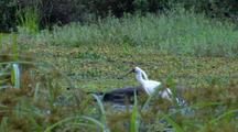 Royal Spoonbill In Marsh, Flies Away