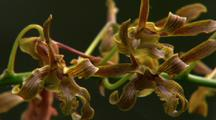 Close-Up Orchid Flowers