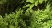 Tree Fern Fronds From Above