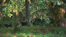 Several Australian Scrub, Bush Or Brush Turkey Scurry Through Frame
