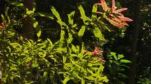 Macadamia Wild Native Bush Hawaii Nut new leaves and growth
