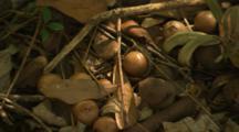 Ripe Macadamia Hawaii Nut on ground under tree